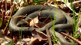 шипение : The snake in the wild after winter on a spring sunny day creeps along the grass next to the pond showing a double tongue Стоковые видеозаписи