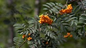 Rowan berries not tree
