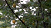 yellow plum fruit full branch