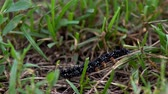 Black caterpillar insect