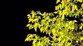 Alpha channel. Isolated branch of an tree with yellow leaves Stock Footage