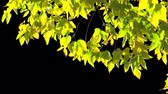 Alpha channel. Isolated branch of an tree with yellow leaves Стоковые видеозаписи