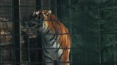 tigre : amur tiger in a zoo cage (panthera tigris altaica)
