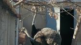 struś : two ostriches eat from the feeder (struthio camelus)