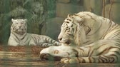 тигр : bengal white tiger washes himself tongue (panthera tigris bengalensis)