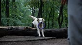 obediência : Golden Retriever outdoor training process