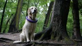 подруга : Golden Retriever outdoor training process