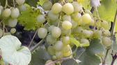 vine plant : bunch of grapes on a bush