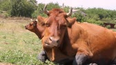 vaca lechera : a brown cow lies on a meadow for lunch and chews the cud lazily looking at the camera close-up Archivo de Video