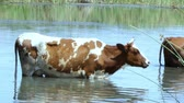pastvisko : a brown cow with white spots in the heat of summer stands in the water