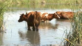 pastoreio : a beautiful brown cow with white spots stands in the river fleeing the heat on a hot summer day