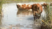 vaca lechera : a brown cow with white spots in the heat of summer stands in the water
