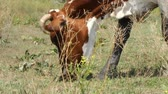 vaca lechera : brown cow with white spots grazes in a meadow on a summer sunny day close up