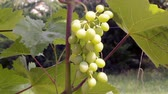 vinice : bunch of grapes on a bush