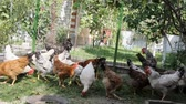 galinha : gardener summer resident feeds his chicken which contains on the plot