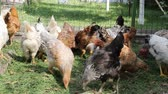 volaille : chickens in the yard digging in the grass and pecking grain