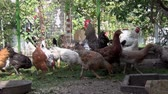 galinha : chickens in the yard digging in the grass and pecking grain