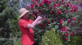 virágárus : summer sunny day, a young man in a hat cuts off a rose that grows on a plot with secateurs for the beauty of the bush