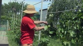 buda : On a sunny summer day, a young man in a hat cuts a vine with a pruner to obtain a good harvest