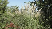 미풍 : a beautiful yellow-green reed plant sways in the wind on a sunny summer day