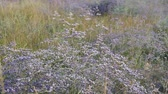 keretében : Purple wild flowers. Flowers in a meadow. A field with flowers. Dry grass. Stock mozgókép