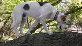 cão de caça : Cross-breed of hunting and northern white dog got into unstable tree trunk in search of some food