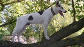 shaky : Cross-breed of hunting and northern white dog panting while standing on an unstable, shaky tree branch