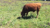 vitela : �¡ute young bull-calf chained on summer flowering meadow and grazing