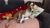 привязчивый : Royal basenji dog lying sweet like a cat on a sofa Стоковые видеозаписи