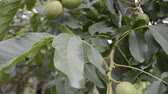 taze : big green walnuts ripening on tree branch by summer Stok Video