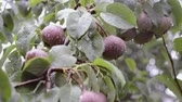 pereira : many pear fruits ripening on tree brunch under summer rain