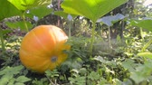 거짓말하는 : steady footage of big ripe pumpkin laying on ground by sunny summer evening