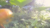 bright sunlit footage of big ripe pumpkin laying on ground, pan camera movement
