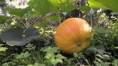footage of big pumpkin ripening on ground by summer, pan camera movement