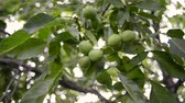 fresh green walnuts ripening on big tree branches, pan camera movement