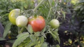 organic tomatoes ripening on branch by summer, pan camera movement