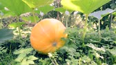 steady footage of garden grounds with big ripe pumpkin in focus Стоковые видеозаписи