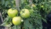 bundle of : organic tomatoes ripening on branch by summer, pan camera movement