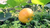 panning footage of garden grounds with big ripe pumpkin in focus Стоковые видеозаписи