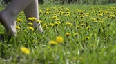 fresh yellow dandelions on sunny meadow with barefoot woman legs walking through