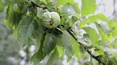 branch of apple tree with ripening fruits under summer rain