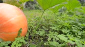 fresh big organic pumpkin growth on garden grounds, sliding camera movement
