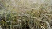 plantation : wheat stalks waved by light wind by summer Stock Footage