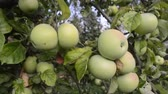 many apples ripening on tree branches by summer evening Stockvideo
