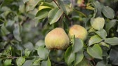 alimentos : hand picking pear fruit from tree by summer evening