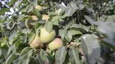 pear tree full of ripening fruits by summer evening Stockvideo