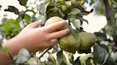 körte : hand picking pear fruit from tree branch by summer evening