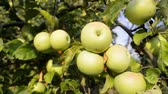 many juicy apples ripening on tree branches by summer evening, tracking camera movement Stockvideo