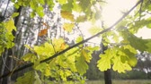 дуб : oak tree branch with backlit evening sun by fall, tracking camera movement Стоковые видеозаписи