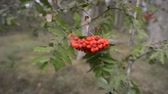 лес : ripe rowanberries on tree branch in summer forest Стоковые видеозаписи